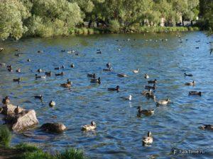 Ольгин пруд и утки