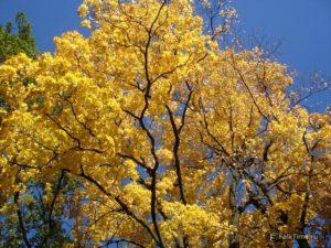 Осенний жёлтый клён